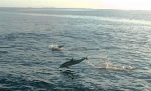 delphin springend
