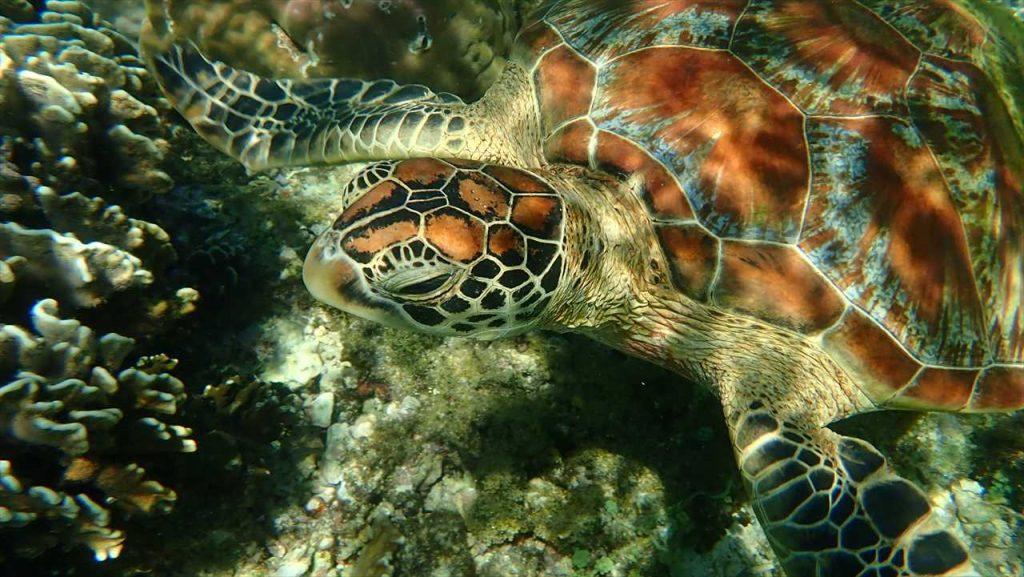 Apo Island Turtle nah