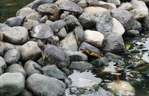 Wasserschildkröten in Guayaquil